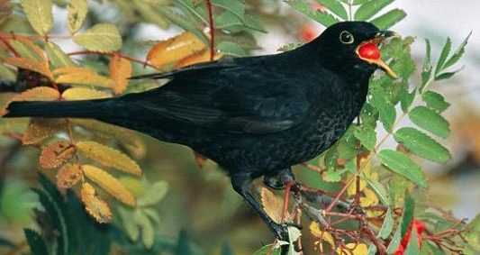 Black bird eating a berry